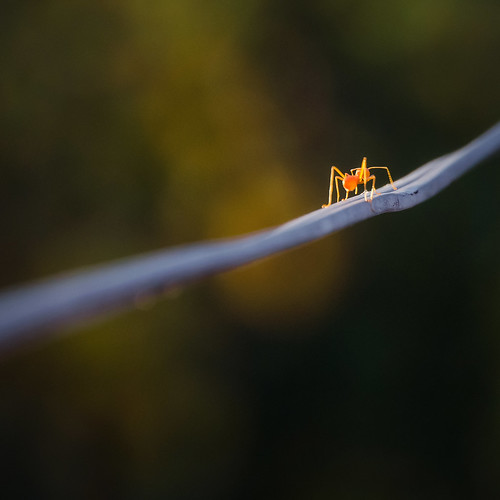 sunset orange nature backlight insect outdoors southeastasia glow dof bokeh thai chiangmai glowing backlit electricalwire creature siam crawling squarecrop goldenhour newyearsday redant fireant chiangmaithailand electricchord tamron18270 nikond5100 january12016 thanksbine