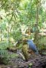 Cagou (Rhynochetos jubatus) - Kagu by Dendromat