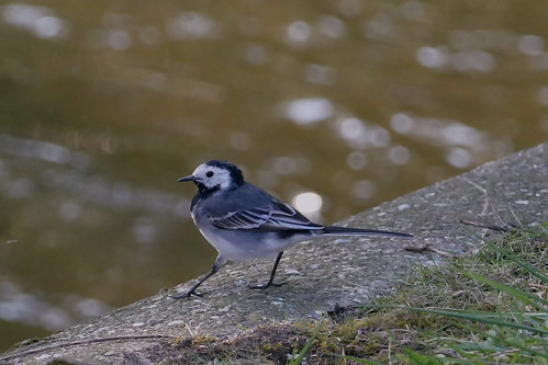 Pied Wagtail | by Andrew Skotnicki