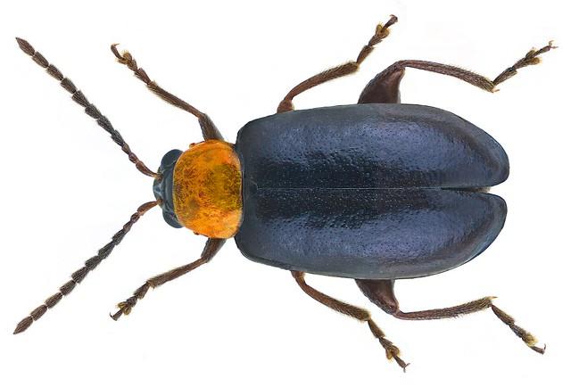 Luperomorpha xanthodera (Fairmaire, 1888)