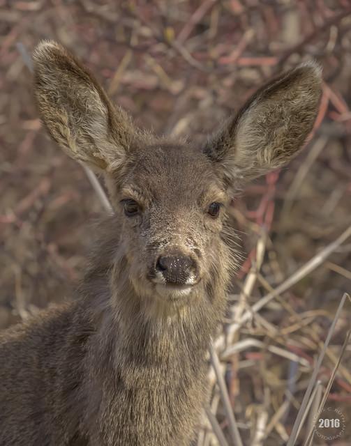 Scruffed up Deer