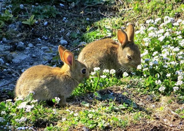 Baby Wild Rabbits