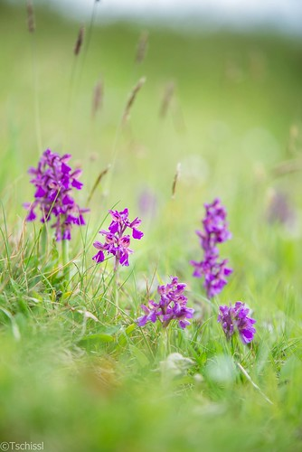 flowers orchids pflanzen blumen orchideen anacamptis leoben