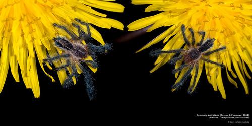 Avicularia sooretama Bertani & Fukushima 2009   by mygale.de