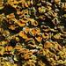Common Orange Lichen - Xanthoria parietina