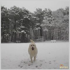 #TheWhiteDog loves snow days!  #Hooray #SoPretty #SnowStorm #CominAtYou #Runner #PineForest #WestChop #North #VineyardHaven #MarthasVineyard #Massachusetts #MVwinter #NOfilter #MVinHD #Shepherd #WhiteShepherd #ShepherdsOfInstagram #WhiteDog #DogsOfInstagr