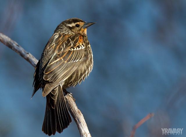 Carouge à Épaulettes / Red-Winged Blackbird / agelaius phoeniceus (♀)