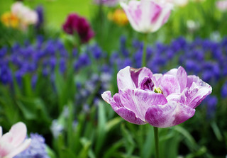 purple_tulip | by MaxAndronicus