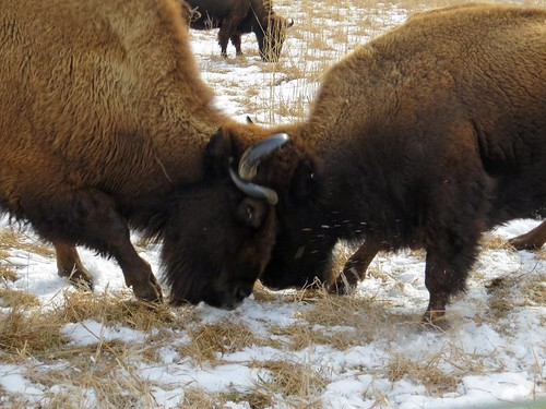 Bison Disagreement | by U.S. Fish and Wildlife Service - Midwest Region