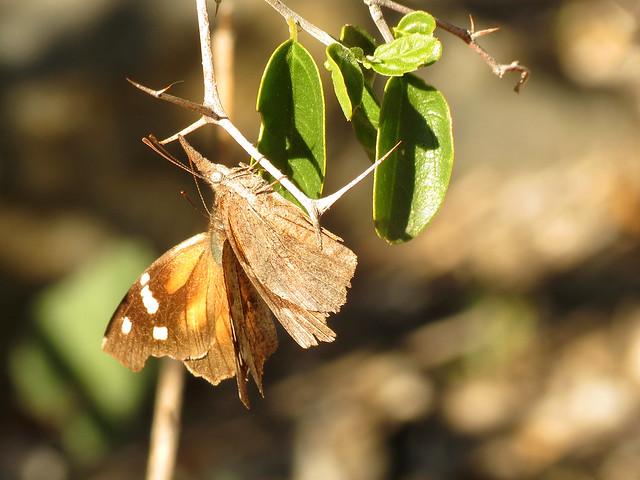 American Snout Butterflies Mating