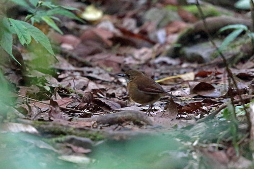 Lesser Ground Robin, Mokwam, West Papua