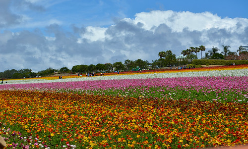 Carlsbad Flower Fields | by Jason Rosenberg