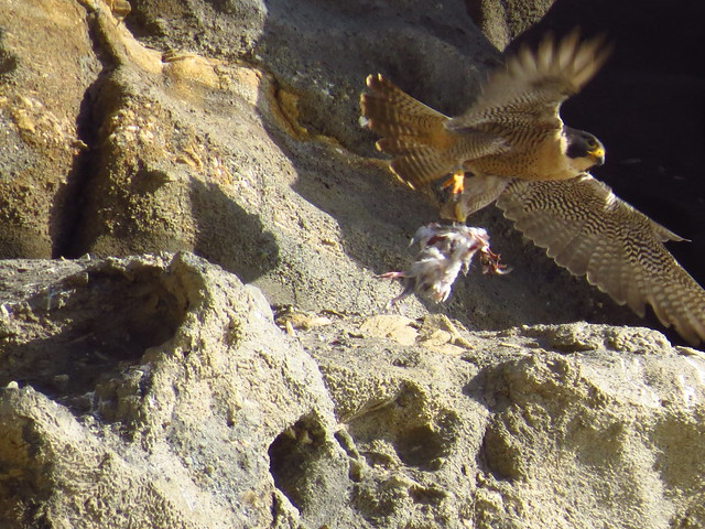 peregrine falcon with prey-point fermin (4)