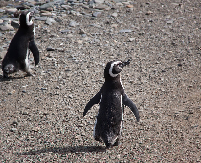 Magellanic Penguins - Isla Magdalena, Patagonia - Chile