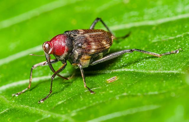 Fly Weevil (Curculionidae, Conoderinae) 111p-9860