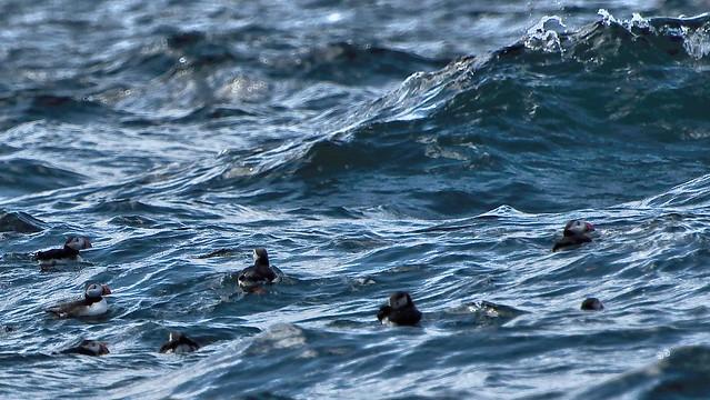Macareux --- Atlantic puffins --- Fratercula arctica