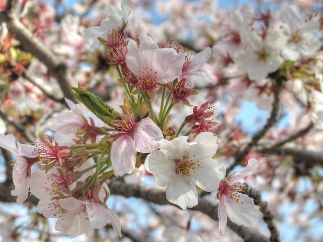 Cherry Blossoms @ Washington DC