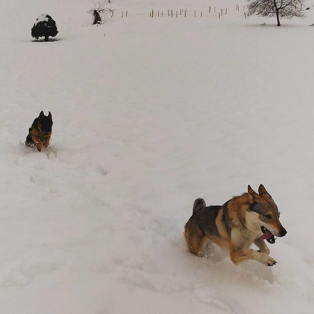 Cani Cane Dog Dogs Lupo Wolf Cecoslovacco Lupoceco Flickr