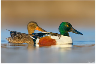 Northern Shoveler | by BN Singh