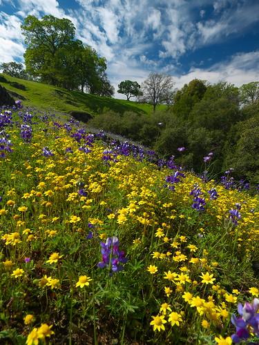 california wildflowers tablemountain oroville