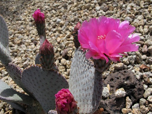 pink flowers arizona cactus southwest detail macro nature phoenix closeup spring desert native az wildflowers cactaceae pricklypear sonorandesert pinkflowers beavertailcactus beavertailpricklypear opuntiabasilaris caryophyllales thatspink intothepink zbg zoniedude1 earthnaturelife canonpowershotg12 pspx8 desertspring2016