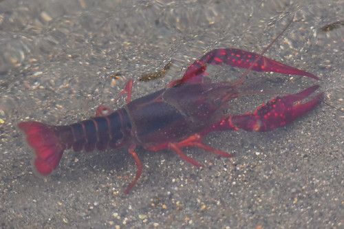 Red Swamp Crawfish Procambarus clarkii | by loarie