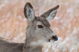 A very pretty mule deer doe | by TonysTakes