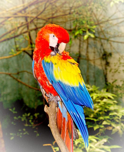 Papagayo amazónico
