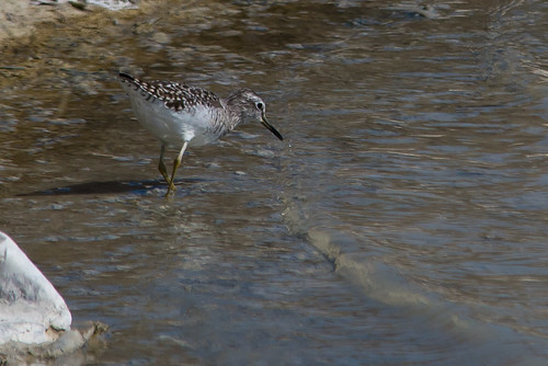 Wood Sandpiper (Tringa glareola) | by Brian Carruthers-Dublin-Eire