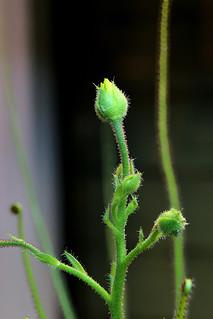 Drosophyllum lusitanicum Blüte | by andy.denker