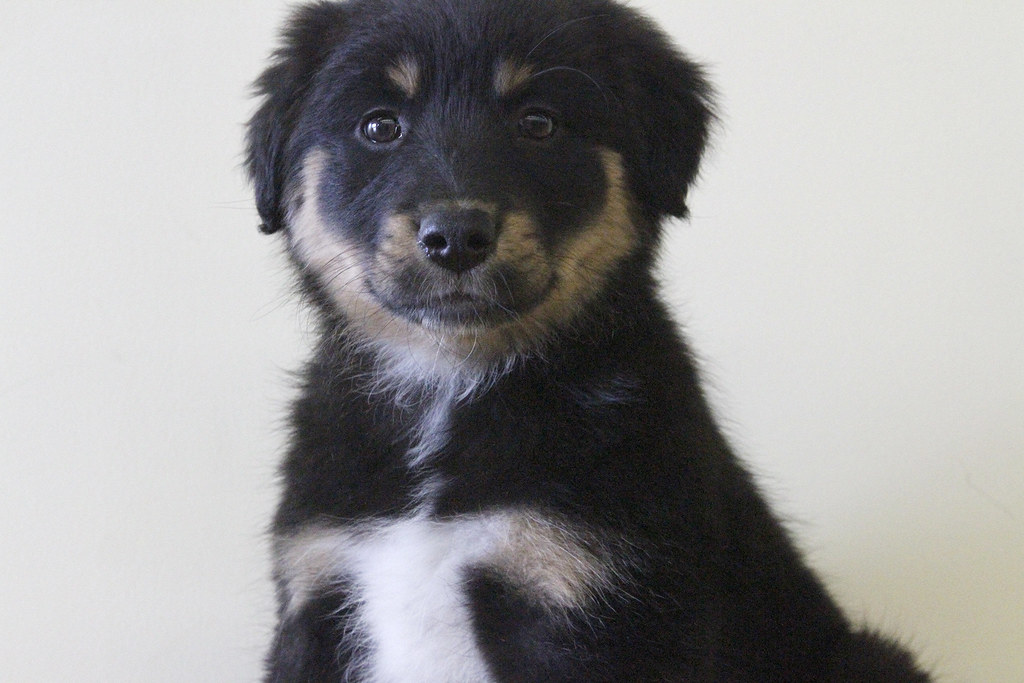 Hunter the 8 Week Old Border Collie / Shepherd / Black Lab