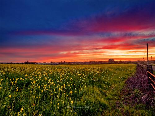 sunset sonoma sonomacounty mustardflowers olympusm714mmf28