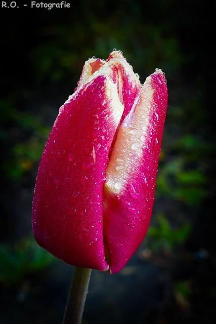 Tulpe pink / Tulip pink