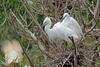 Dimorphic Egret, Tsimbazaza Zoo, Madagascar by Terathopius