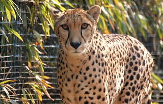 National Zoo 10 Mar 2007 Cheetah | by smata2