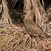 Double-spurred Francolin (Francolinus bicalcaratus) by tj.haslam