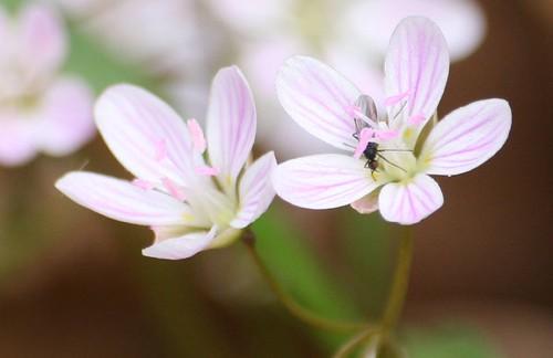 Claytonia virginica, spring beauty