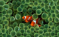 Clown Fish | by jaky