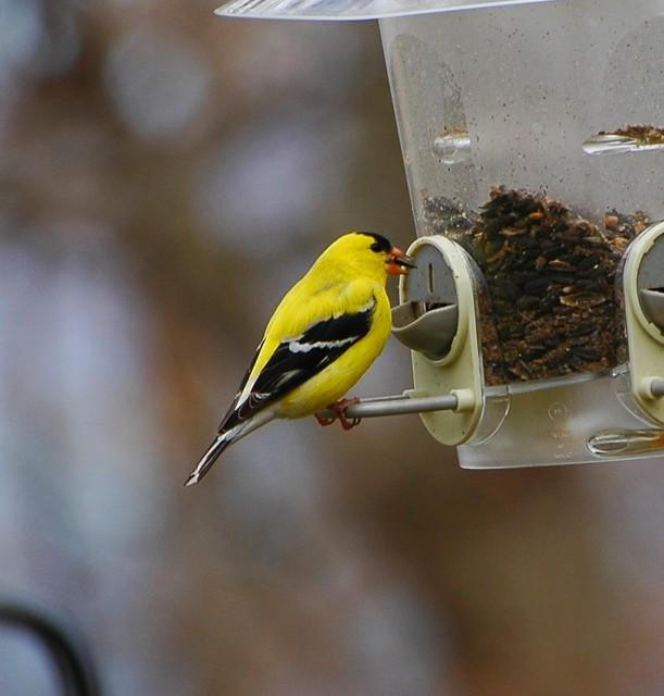 Goldfinch Eating Black Oil Sunflower Seeds