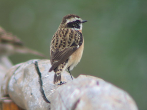Whinchat | by Harry R
