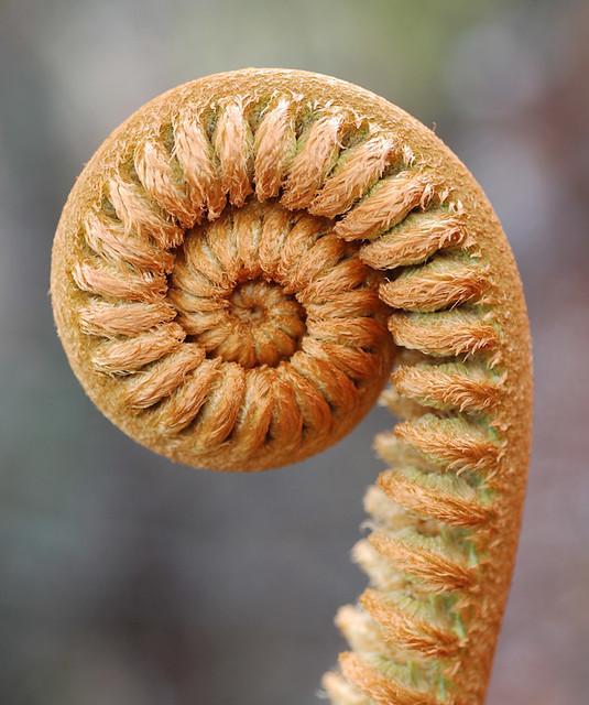 Fern fiddlehead (Sadleria cyatheoides), Kilauea, Hawaii