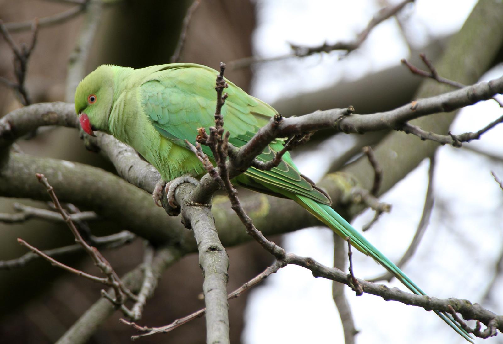 Green Parrot 2