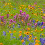 Texas Wildflower Workshop _2015_Fields