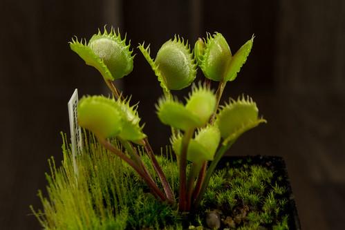 Dionaea Seed Grown 005   by Taudan Plants