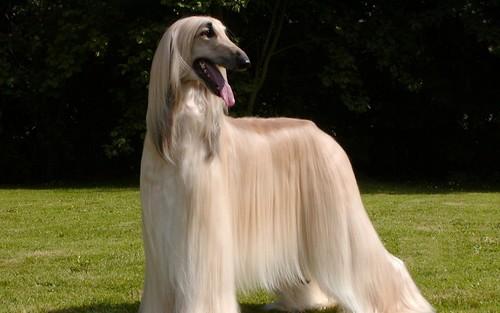 afghan-hound-white-1024x640