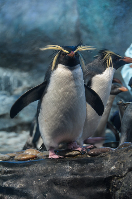 Rockhopper Penguins (Eudyptes chrysocome)