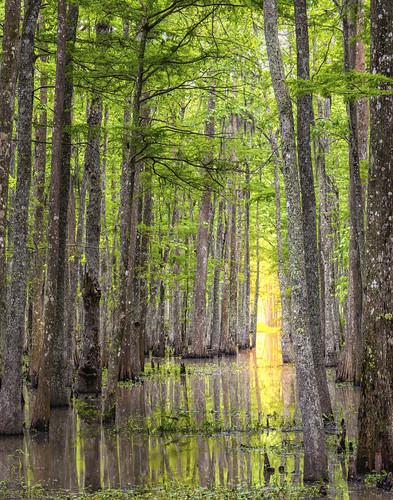 trees sunlight green public water beautiful beauty landscape louisiana scenery bayou swamps swamp cypress lands nwr bayouteche teche nationalwildlfierefuge