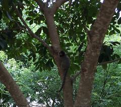 Série com o Sagui-de-tufos-pretos (Callithrix penicillata) - Series with the Black-ear-tufted-marmoset - 15-02-2016 - IMG_0541