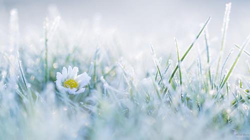 winter macro canon bloem madeliefje alblasserdam rijp lawndaisy canonspeedlite580exii canoneos5dmarkiii canonef100mmf28lmacroisusm ingeflitstlosvancamera