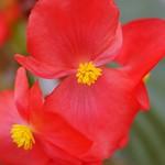 ベゴニア・ビッグ レッド&ブロンズリーフ Begonia×benariensis 'BIG'